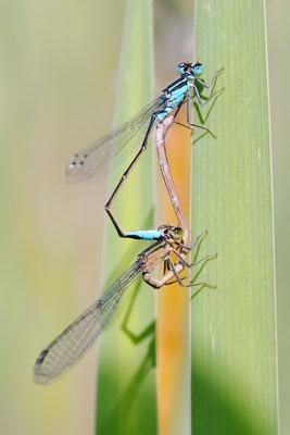 Große Pechlibelle (Ischnura elegans) - Paarungsrad Bild 019 Foto: Regine Schadach