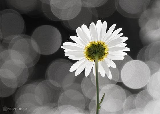 My Flower (Margerite im Gegenlicht) Foto: Regine Schadach - Olympus OM-D E-M5 Mark II - M.ZUIKO DIGITAL ED 40‑150mm 1:2.8 PRO