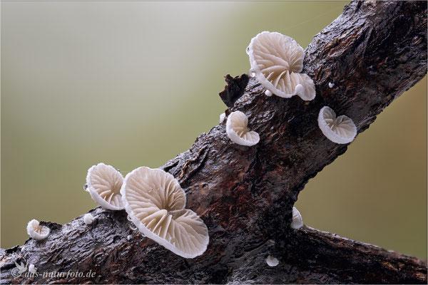 Stummelfüßchen (unbestimmt) (Crepidotus indet.) Bild 004 Foto: Regine Schadach - Olympus OM-D E-M5 Mark II - M.ZUIKO DIGITAL ED 60mm 1:2.8 Macro