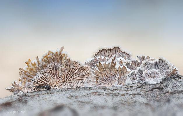 Gemeiner Spaltblättling (Schizophyllum commune) Bild 003 - Foto: Regine Schadach - Olympus OM-D E-M1 Mark III - M.ZUIKO DIGITAL ED 40‑150mm 1:2.8 PRO