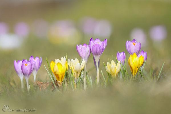 Krokusse unbestimmt (Crocus indet.) - Bild 005 - Foto: Regine Schadach - Canon EOS 5D Mark III Sigma 150mm f/2.8 Macro