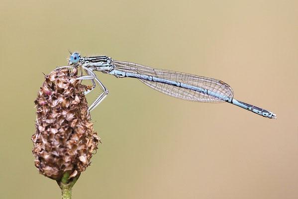 """Gemeine Federlibelle (Platycnemis pennipes) - auch """"Blaue Federlibelle"""" Bild 015 Foto: Regine Schulz"""
