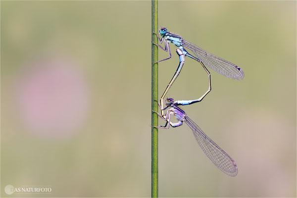 Große Pechlibelle (Ischnura elegans) Paarungsrad  Bild 023 Foto: Regine Schadach  - Canon EOS 5D Mark III Sigma 150mm f/2.8 Macro