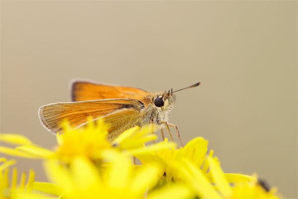 Braunkolbiger Braundickkopffalter (Thymelicus sylvestris) Bild 005 Foto: Regine Schadach - Canon EOS 5D Mark III Sigma 150mm f/2.8 Macro