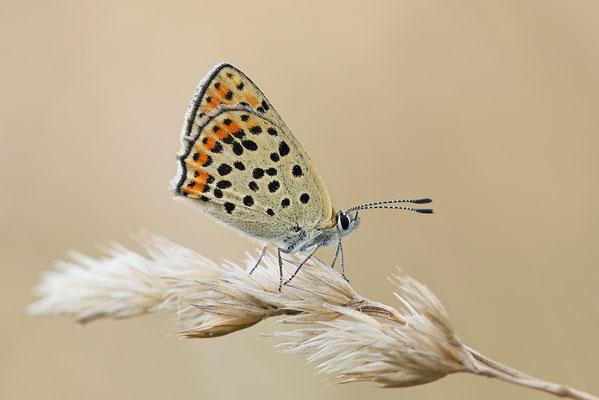 Brauner Feuerfalter (Lycaena tityrus) Bild 005 - Foto: Regine Schadach
