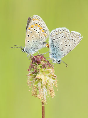 Hauhechel-Bläuling (Polyommatus icarus) Paarung auf Kleinem Wiesenknopf Bild 005 Foto: Regine Schulz