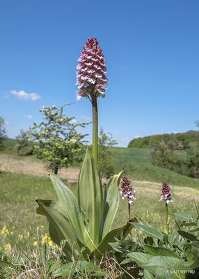 Purpur-Knabenkraut (Orchis purpurea) Bild 018 - Foto: Regine Schadach - Olympus OM-D E-M1 Mark II - M.ZUIKO DIGITAL ED 7-14mm 2.8 PRO