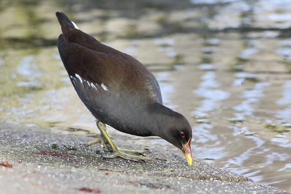Teichhuhn (Gallinula chloropus) Bild 004 Foto: Regine Schadach