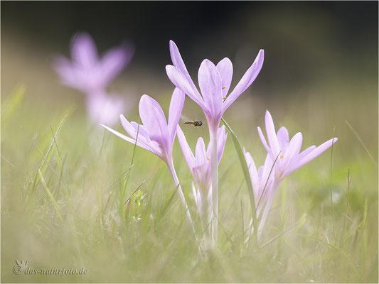 Herbst-Zeitlose (Colchicum autumnale) - Bild 004 - Foto: Regine Schadach - Canon EOS 5D Mark III Sigma 150mm f/2.8 Macro
