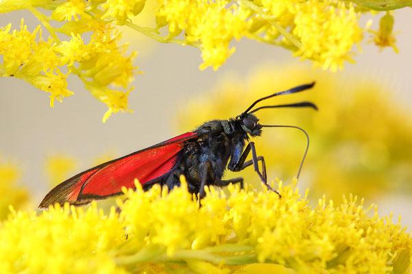 Sechsfleck oder Gemeines Blutströpfchen (Zygaena filipendulae) Bild 001 Foto: Regine Schadach