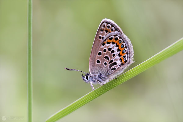 Silberfleckbläulinge (Artenkomplex) Bild 002 Foto: Regine Schulz - Canon EOS 5D Mark III Sigma 150mm f/2.8 Macro