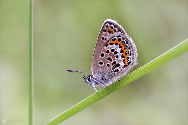 Silberfleckbläulinge (Artenkomplex) Bild 002 Foto: Regine Schadach - Canon EOS 5D Mark III Sigma 150mm f/2.8 Macro