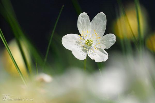 Busch-Windröschen (Anemone nemorosa)  Bild 008 Foto: Regine Schadach - Olympus OM-D E-M5 Mark II - M.ZUIKO DIGITAL ED 40‑150mm 1:2.8 PRO