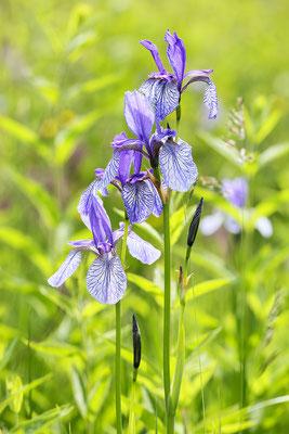 Sibirische Schwertlilie (Iris sibirica) Bild 004 Foto: Regine Schulz