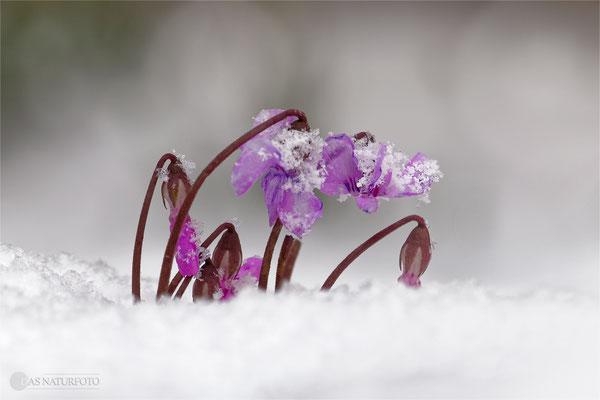 Vorfrühlings-Alpenveilchen (Cyclamen coum) Bild 004 Foto: Regine Schulz - Lumix FZ 1000