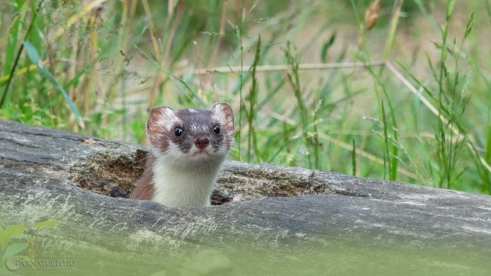 Auch Hermeline (Mustela erminea) kann man im Otterzentrum beobachten.  Foto: Regine Schulz