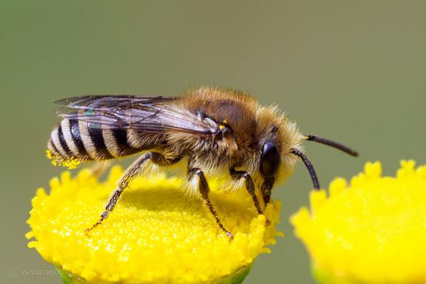 Ein Seidenbienen-Männchen, Gattung Colletes. - Foto: Regine Schadach