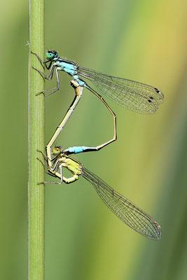 Große Pechlibelle (Ischnura elegans) - Paarungsrad Bild 009 Foto: Regine Schadach