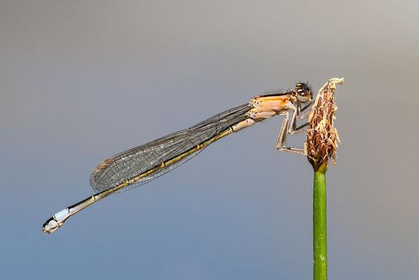 Große Pechlibelle (Ischnura elegans f.infuscans) Bild 004 Foto: Regine Schadach