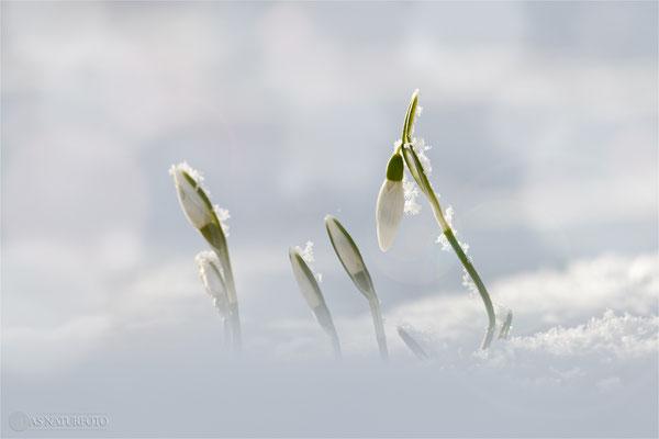 Kleines Schneeglöckchen (Galanthus nivalis) Bild 007 Foto: Regine Schadach - Lumix FZ 1000