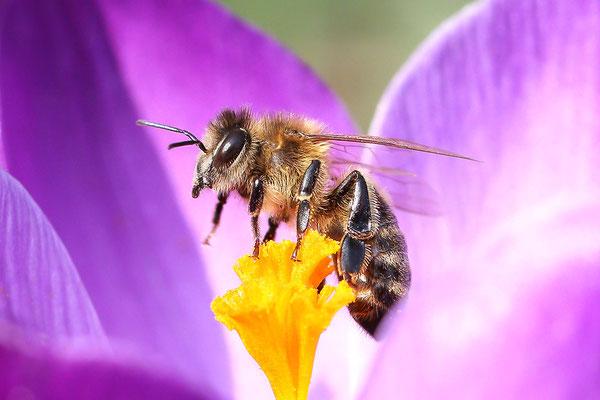 Westliche Honigbiene (Apis mellifera) Bild 002 Foto: Regine Schadach