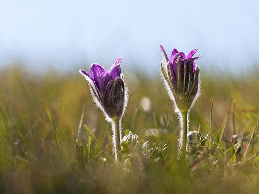 Gewöhnliche Kuhschelle (Pulsatilla vulgaris) Bild 017 Foto: Regine Schadach
