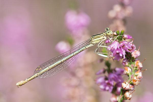 """Gemeine Federlibelle (Platycnemis pennipes) - auch """"Blaue Federlibelle"""" Bild 002 Foto: Regine Schadach"""