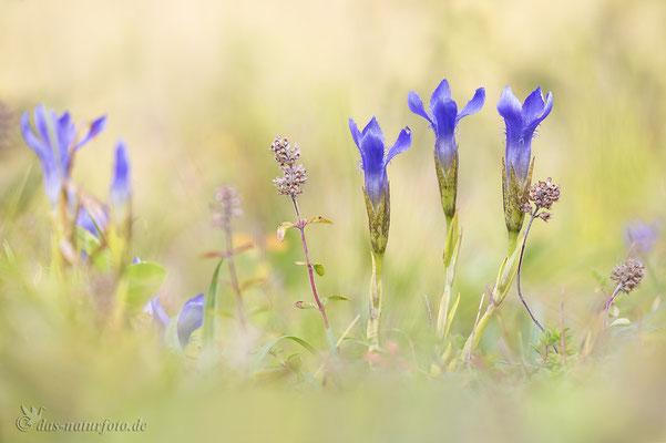 Gewöhnlicher Fransenenzian (Gentianopsis ciliata) Bild 003 Foto: Regine Schadach