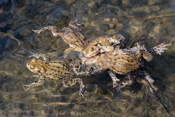 Angekommene Erdkröten im Trüllketal - Männchen erdrücken fast ein Weibchen