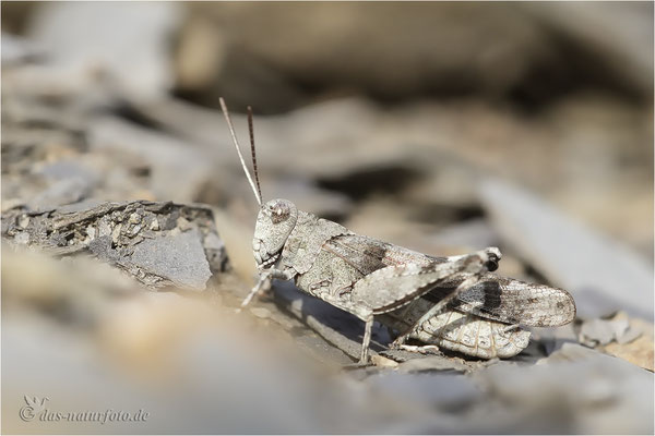 Blauflügelige Ödlandschrecke (Oedipoda caerulescens) Bild 007 Foto: Regine Schadach