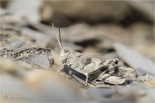 Blauflügelige Ödlandschrecke (Oedipoda caerulescens) Bild 002 Foto: Regine Schadach