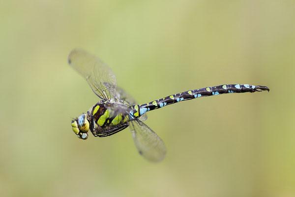Blaugrüne Mosaikjungfer (Aeshna cyanea) - Bild 002 - Foto: Regine Schadach