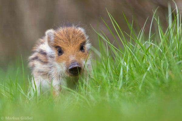 Wildschwein (Sus scrofa) - Frischling - Bild 334 Foto: Markus Gläßel