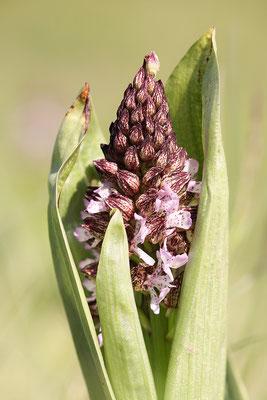 Purpur-Knabenkraut (Orchis purpurea) Bild 008 Foto: Regine Schadach