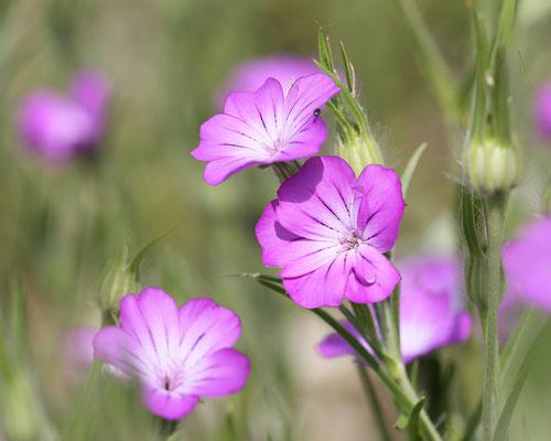 Gewoehnliche Kornrade (Agrostemma githago) Bild 001 Regine Schadach