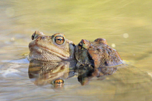 Erdkröte (Bufo bufo) Bild 002 Foto: Regine Schadach