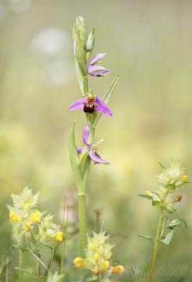 Bienen-Ragwurz (Ophrys apifera) - Bild 003 - Foto: Regine Schadach