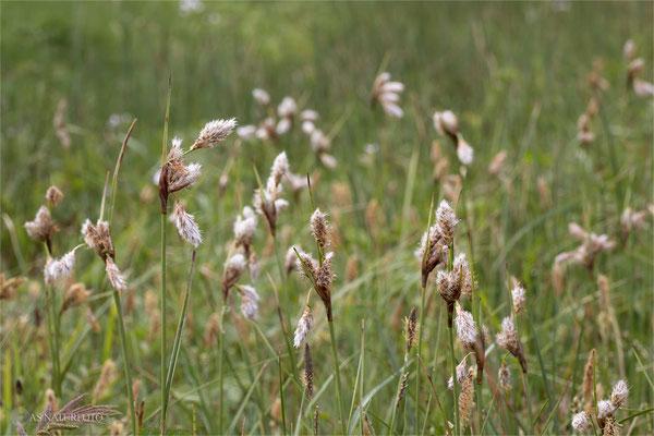 Schmalblättriges Wollgras (Eriophorum angustifolium) - Bild 008 -  Foto: Regine Schulz