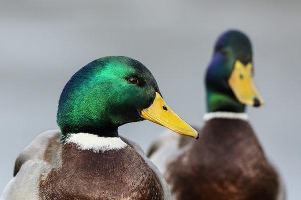 Stockente (Anas platyrhynchos) - Männchen Bild 004 Foto: Regine Schadach