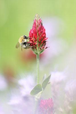 Inkarnat-Klee (Trifolium incarnatum s.str.) Bild 002 Foto: Regine Schadach