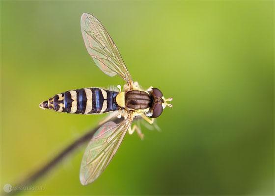 Gemeine Stiftschwebfliege (Sphaerophoria scripta) -Weibchen - Bild 001 - Foto: Regine Schadach