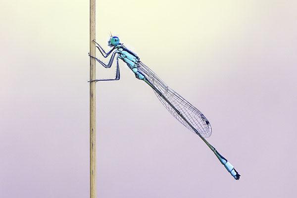 Große Pechlibelle (Ischnura elegans) Bild 006 Foto: Regine Schulz