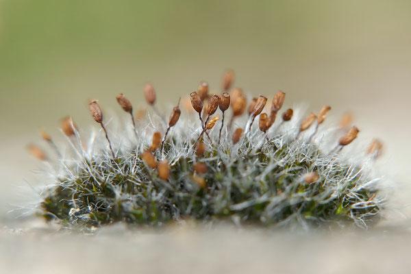 Polster-Kissenmoos (Grimmia pulvinata) fruchtend Bild 001 Foto: Regine Schulz