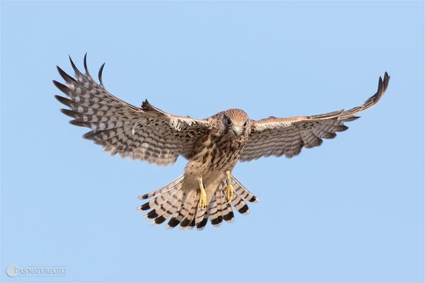 Turmfalke (Falco tinnunculus) - Jungvogel Bild 006 Foto: Regine Schadach - Canon EOS 7D Mark II Canon EF 400mm f/5.6 L USM
