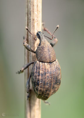 Gerippter Kielhalsrüssler (Tropiphorus elevatus) - kerbtier.de #133254 - Foto: Regine Schadach