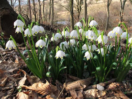 Frühlings-Knotenblume (Leucojum vernum) oder auch Märzenbecher genannt - Bild 009 - Foto: Volker Schadach