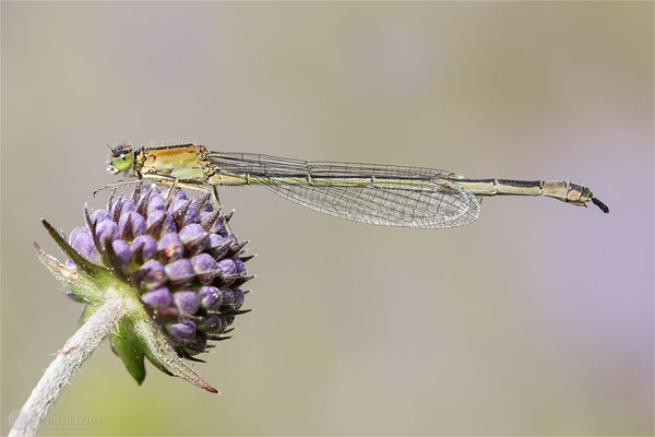 Große Pechlibelle (Ischnura elegans – forma infuscans obsoleta) Weibchen -  Bild 025 Foto: Regine Schadach - Canon EOS 5D Mark III Sigma 150mm f/2.8 Macro