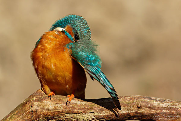Eisvogel (Alcedo atthis) - Bild 003 - Foto: Engler Naturfotografie