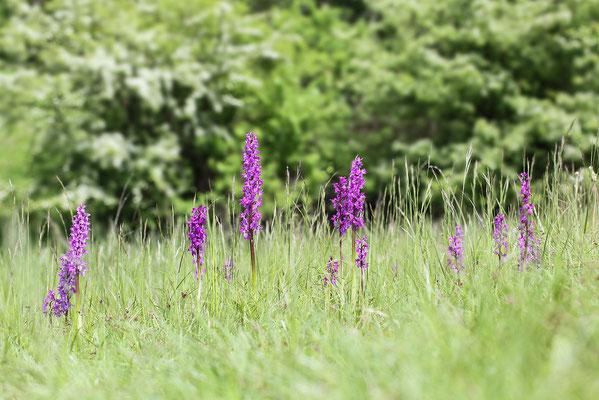 Stattliches Knabenkraut (Orchis mascula) - Bild 008 - Foto: Regine Schadach