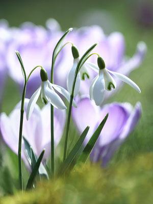 Kleines Schneeglöckchen (Galanthus nivalis), auch Gewöhnliches Schneeglöckchen - Bild 003 - Foto: Regine Schulz